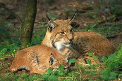 Luchs-Mama mit Kind