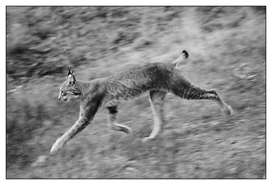 Luchs on the run