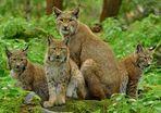 Luchsfamilie im Herbst (3) Gemeinsam