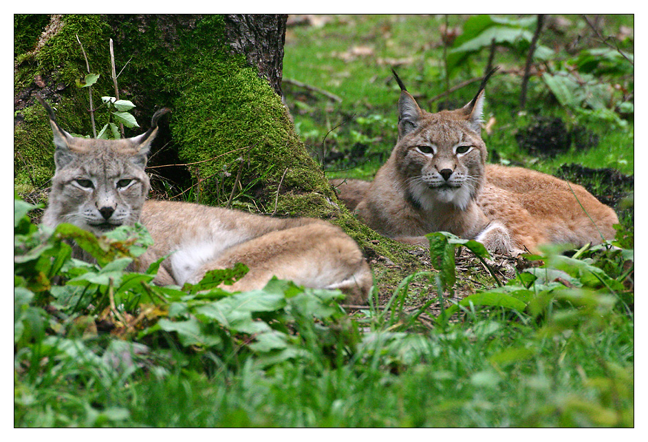 Luchspaar im Wildgehege Hellenthal