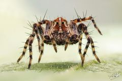 Luchsspinne (Oxyopes ramosus)