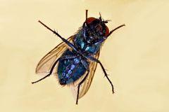 Lucilia sericata - Bauchseite - blau