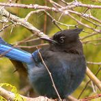 Ludwig, the Stellar's Jay