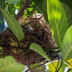 Luftiges Nest des Feigenpirols