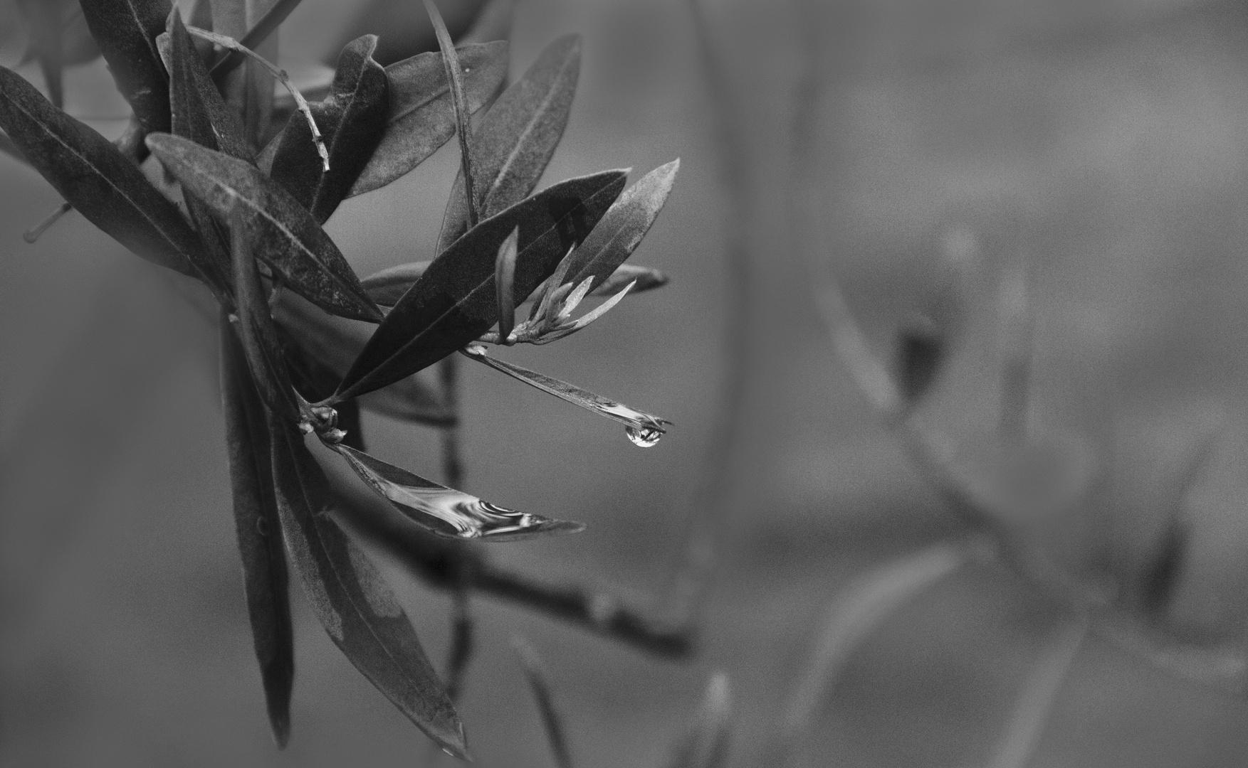 ....l'ulivo..simbolo di pace.....
