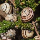 Lumache a grappolo su rami di Timelea - Sardegna