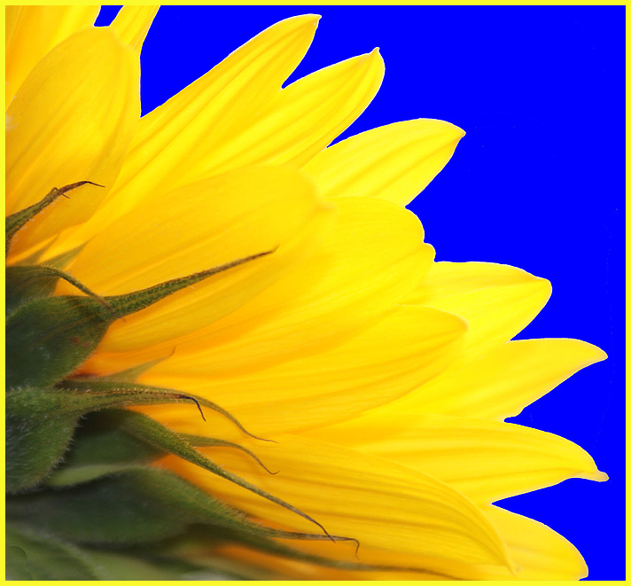 luminous sunflower