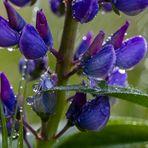 Lupine im Regen