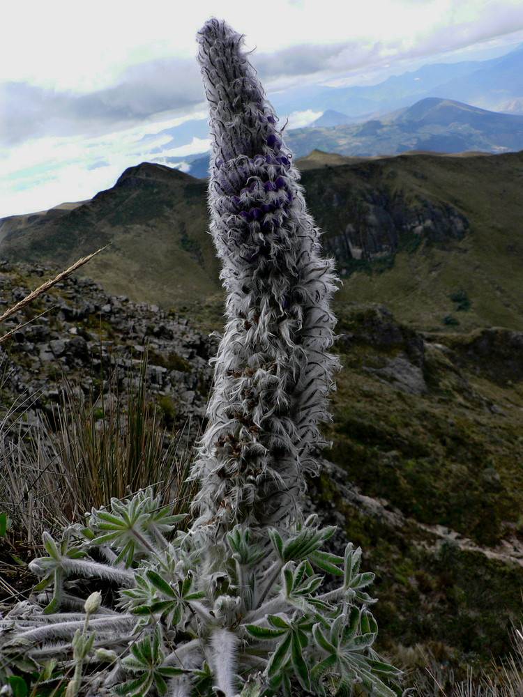 Lupine in the Andes