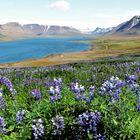 Lupinen auf Island breiten sich weiter aus