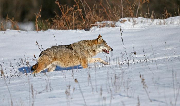 Lupo Appenninico (Canis lupus)