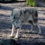 Lupus - der Wolf