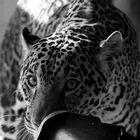 lurking big cat,
