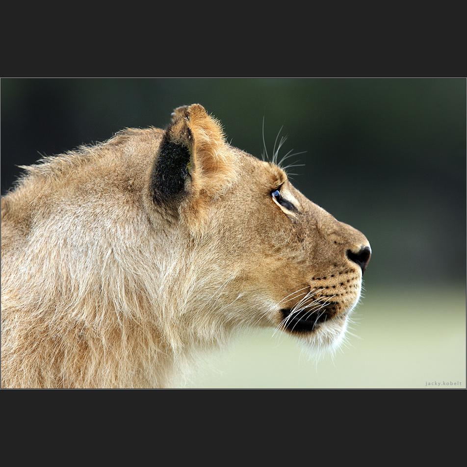 Lurking Lion