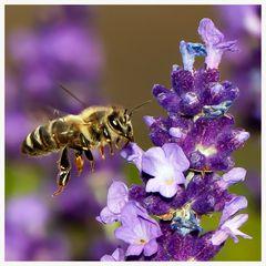 Lust auf Lavendel