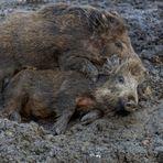 Lust zu einer Schweinerei ...