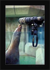 Lustige und lehrreiche Robbenbilder (II): Seelöwin Molly interessiert sich für Fotografie