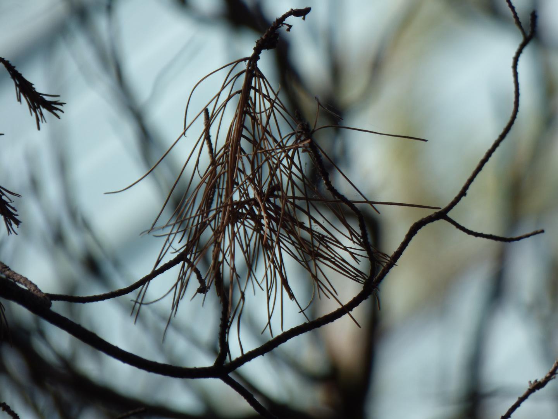 Luz de invierno entre agujas de pino