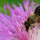 Luzerne-Blattschneiderbiene