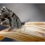 Lycenide Cacyreus marshalli
