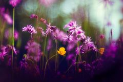 Lychnis mit Ranunculus