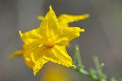 Lycopersicon peruvianum