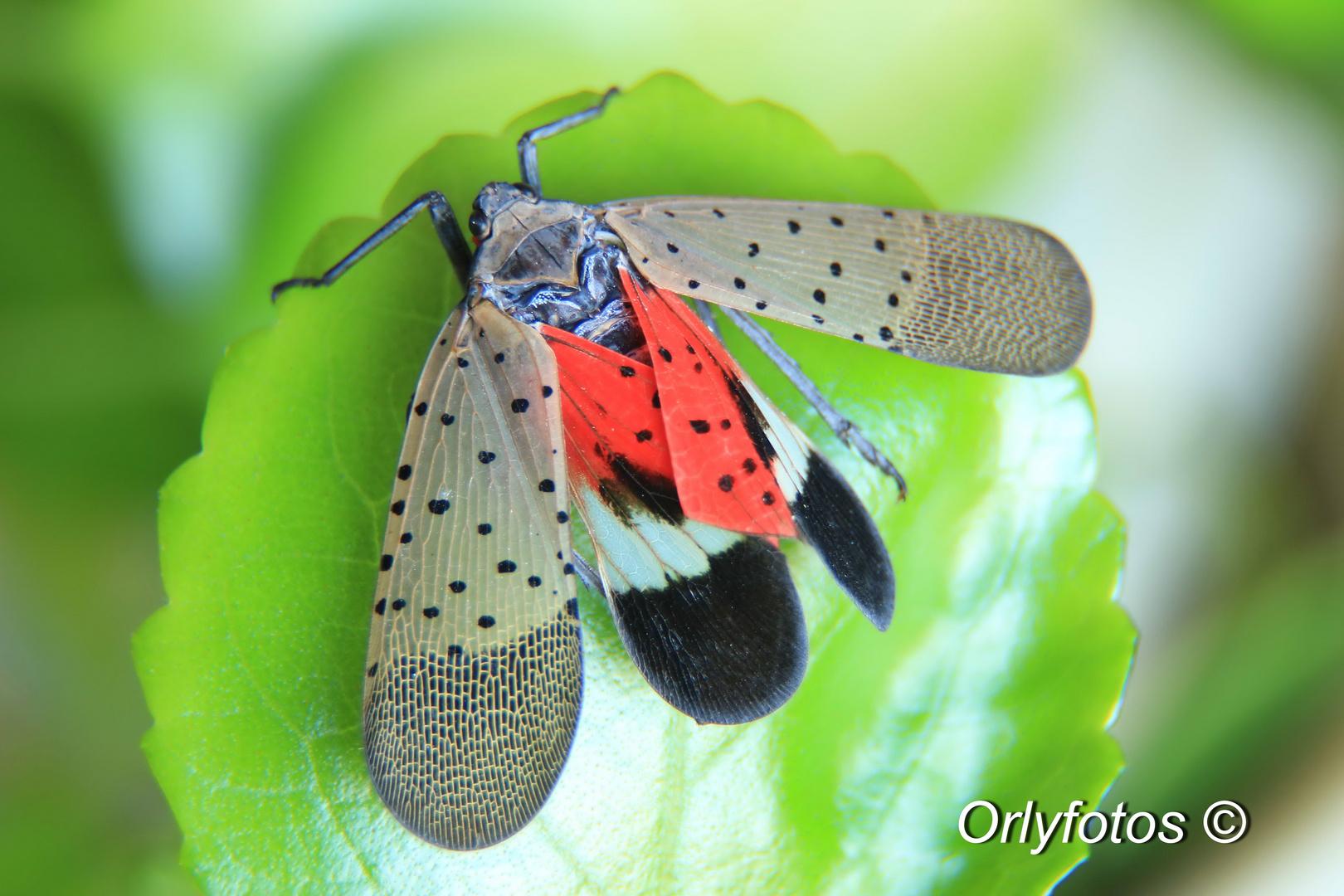 Lycorma delicatula White