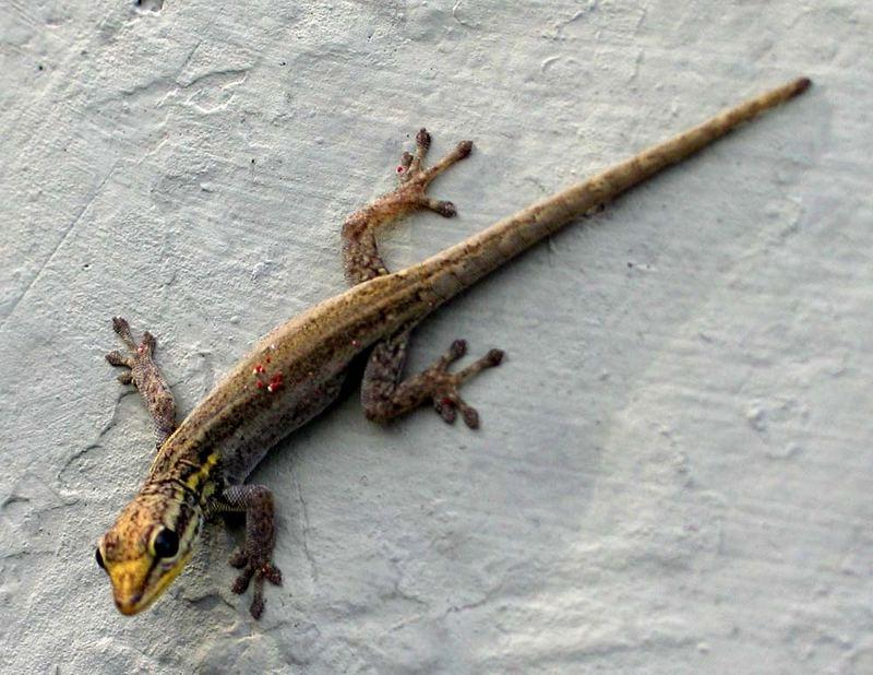 Lygodactylus sp., Weibchen