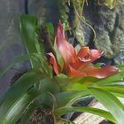 Lygodactylus williamsi Weibchen