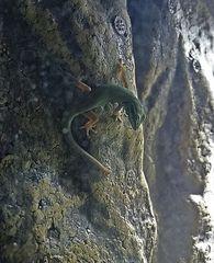 Lygodactylus williamsi, weibl.