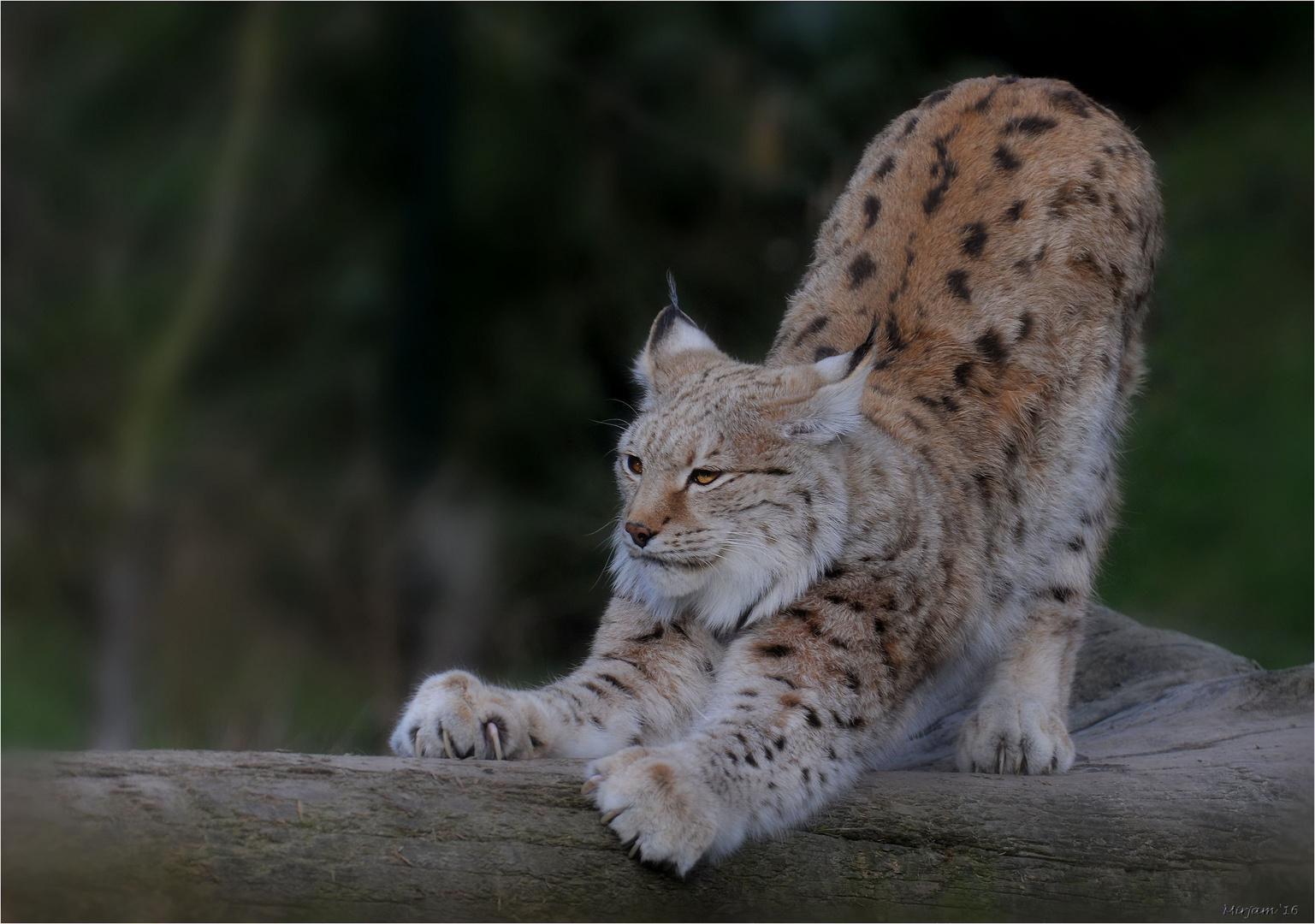 Lynx (3) ..