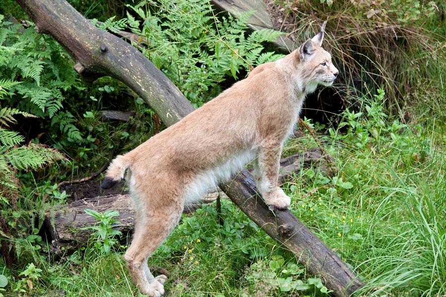 - Lynx -