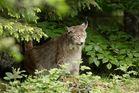 Lynx du Bayer