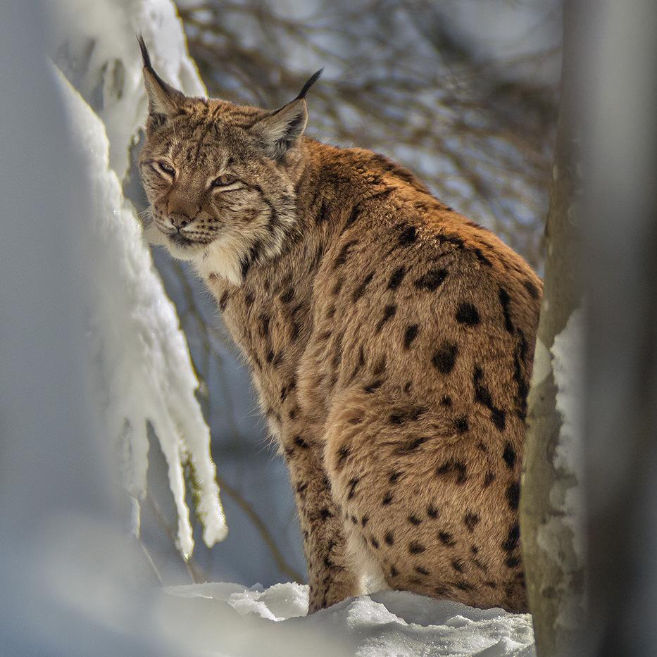 Lynx-EYES and Lynx-EARS