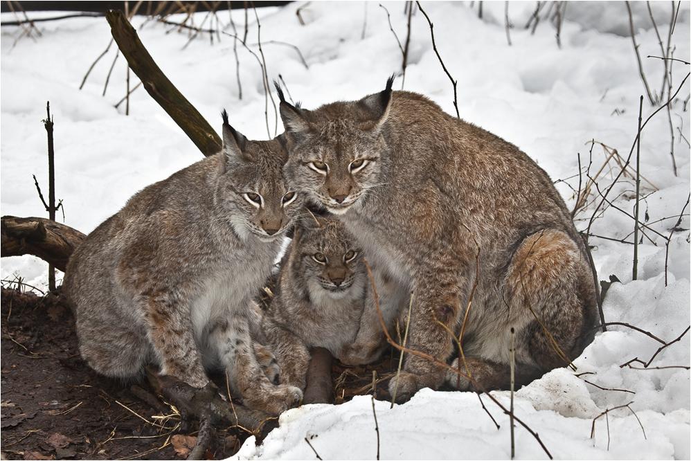 Lynx family waiting for dinner