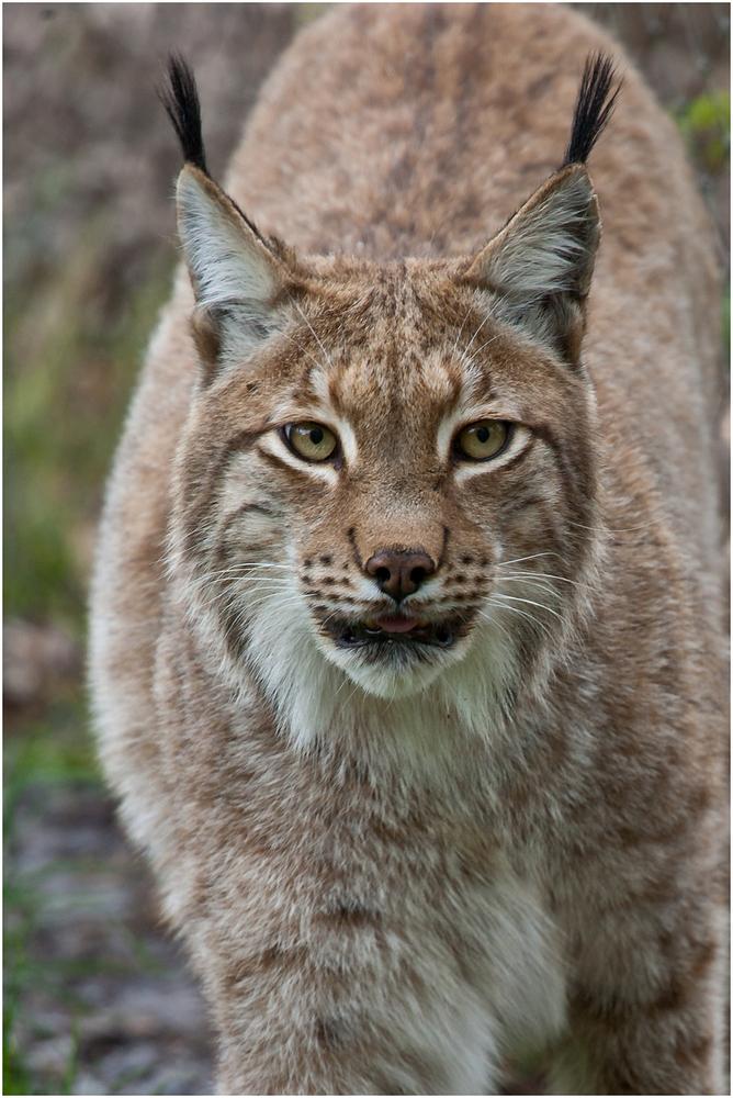 Lynx Lynx Eurasischer Luchs