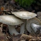Lyophyllum sp.