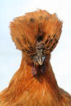 ma ptite poule rousse