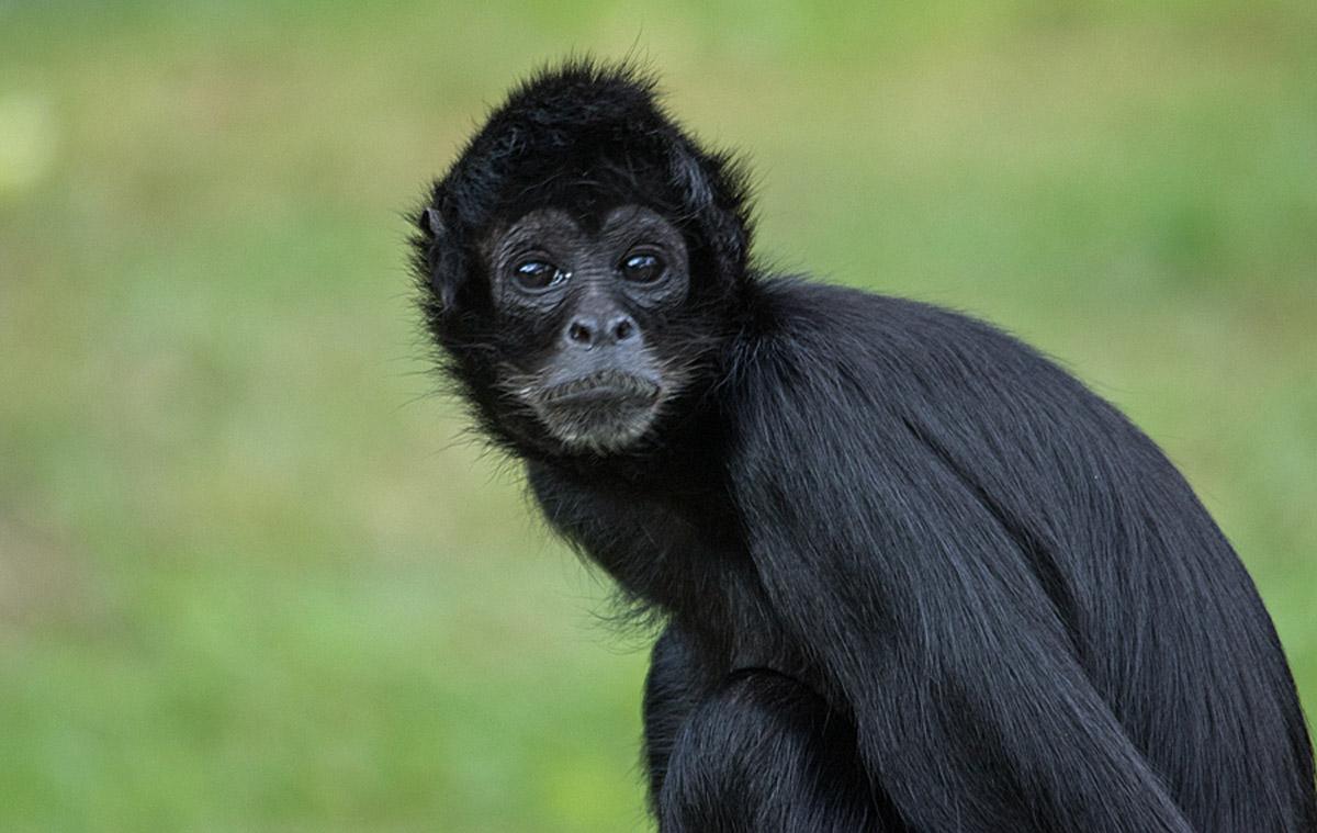 Macaco aranha da Colômbia