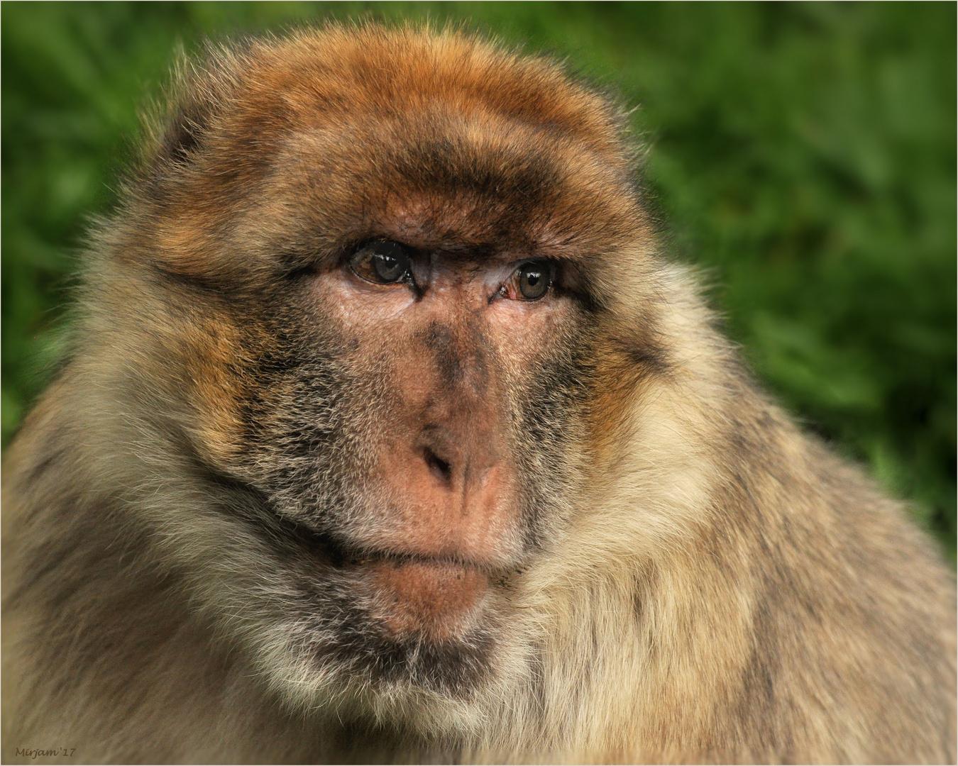 Macaque melancholy ...