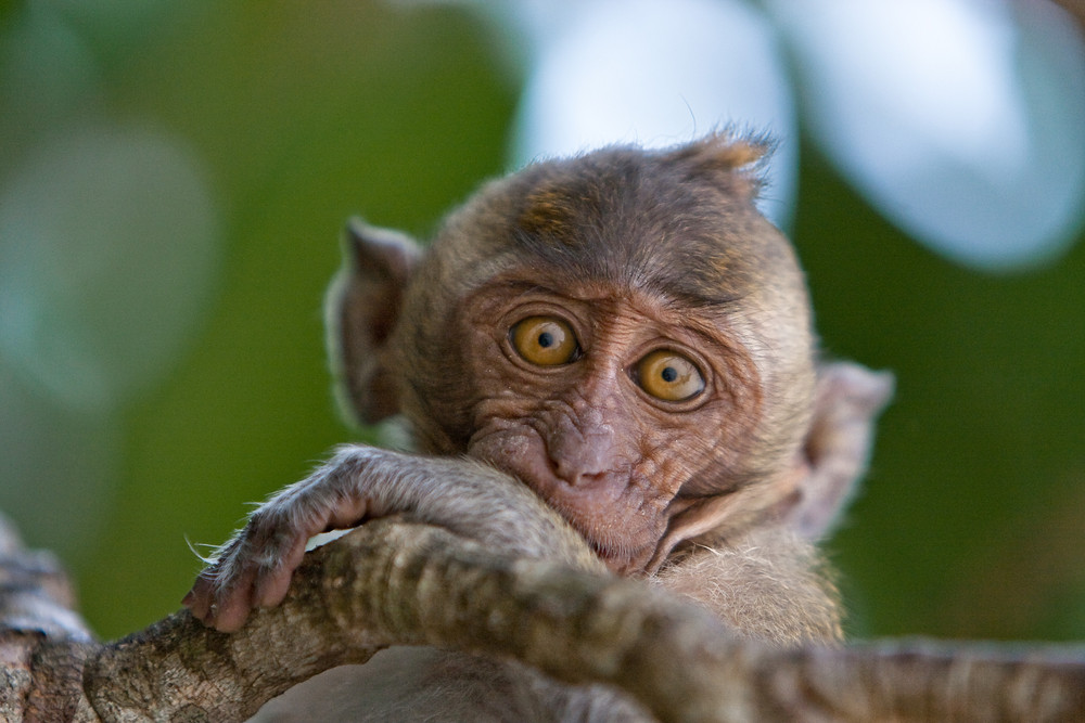 Macaques 4