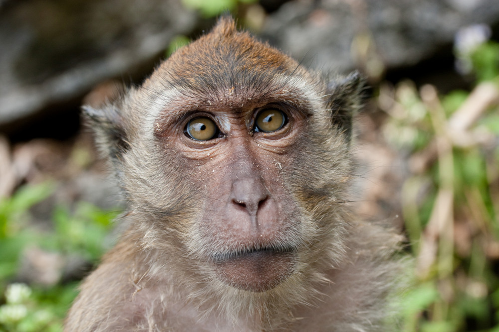 Macaques 5