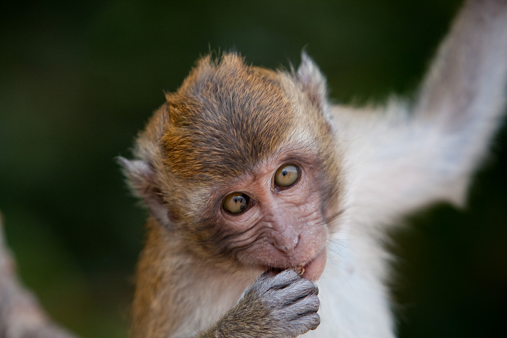Macaques 6