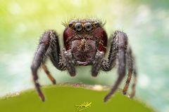 Macaroeris nidicolens Männchen