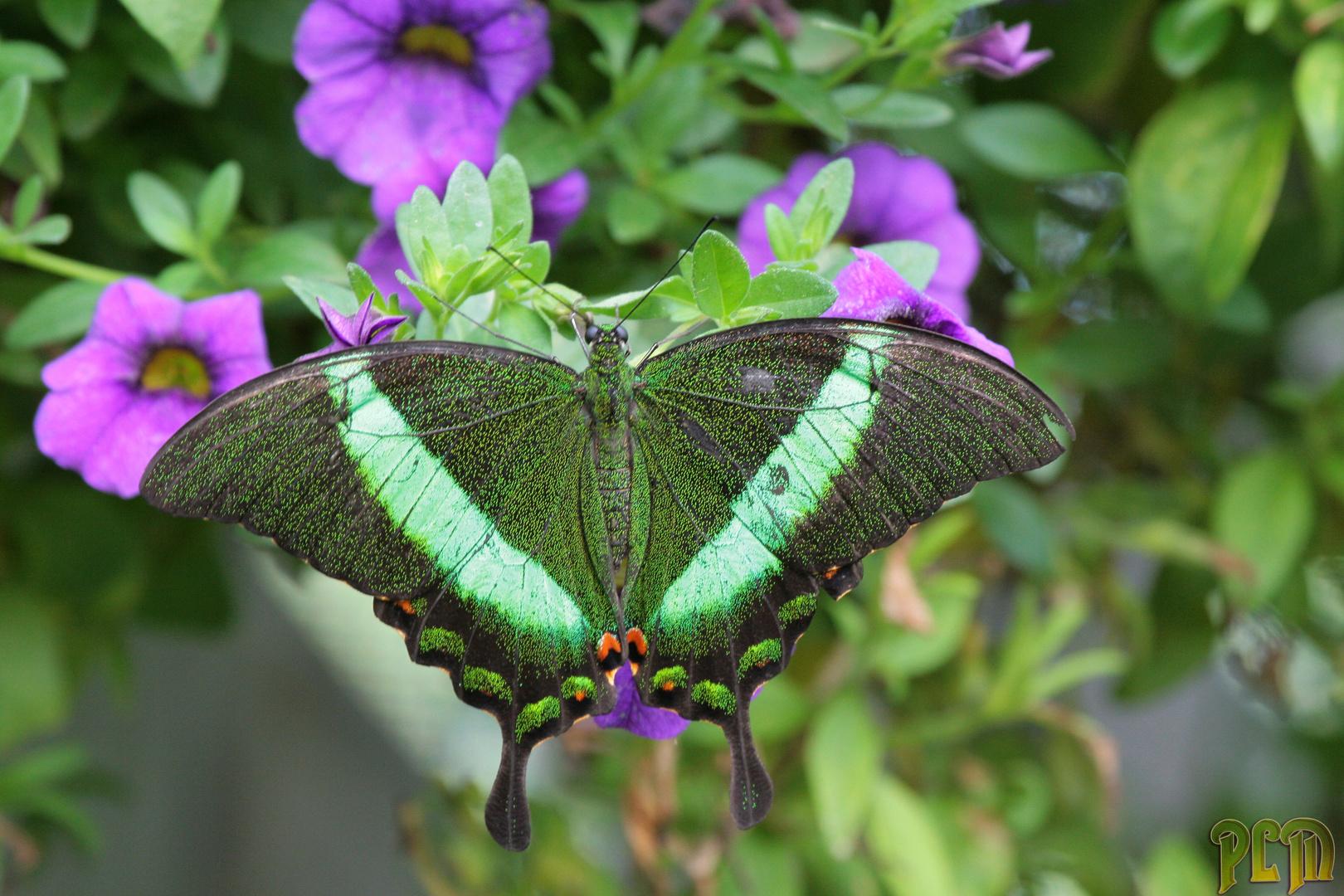 Machaon Emeraude - Papilio palinurus