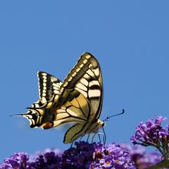 Machaon et buddleia
