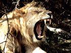 Macht Savannenluft müde?