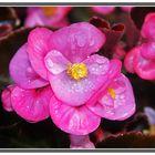 Macro de flor de Begonia I. El Retiro Madrid GKM5-III