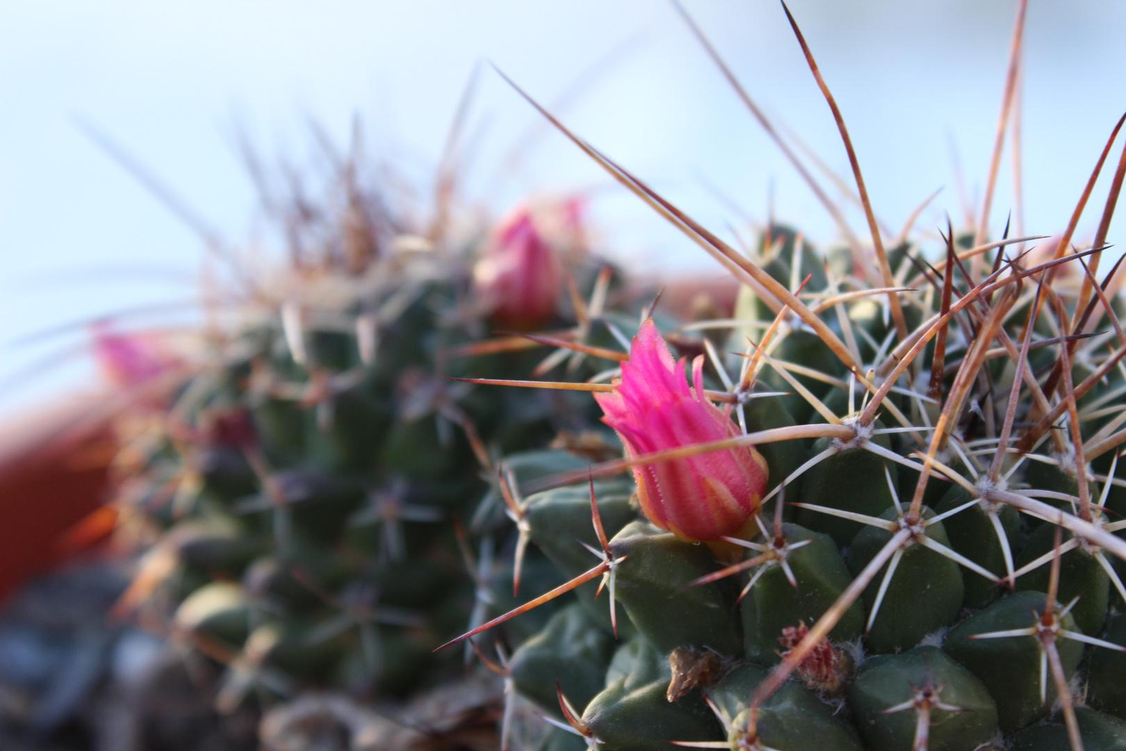 Macro de un Cactus en floración