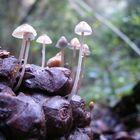 macro funghi pigna